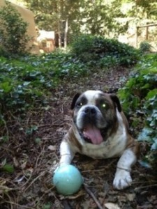 Butkis the bulldog