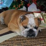 Milez English Bulldog
