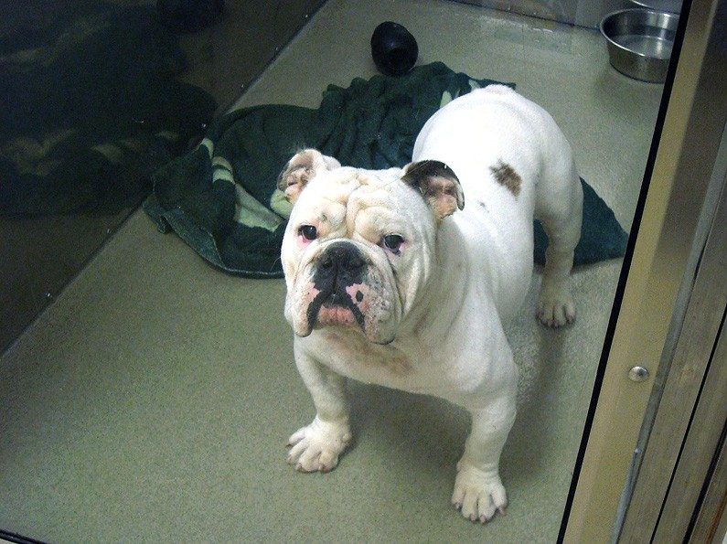 sweets english bulldog
