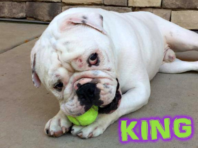 King English Bulldog