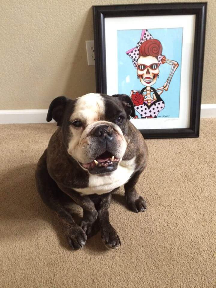 Miss Jelly English Bulldog