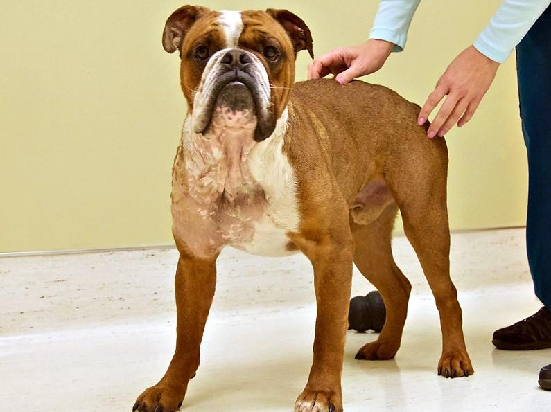 Barkley English Bulldog