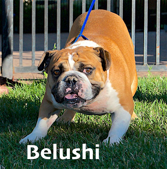 Belushi-English-Bulldog-2
