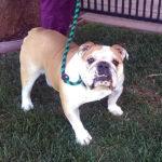 Wilson English Bulldog