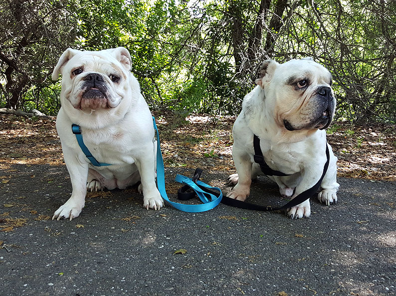 Bentley-Lilly-English-Bulldog-053