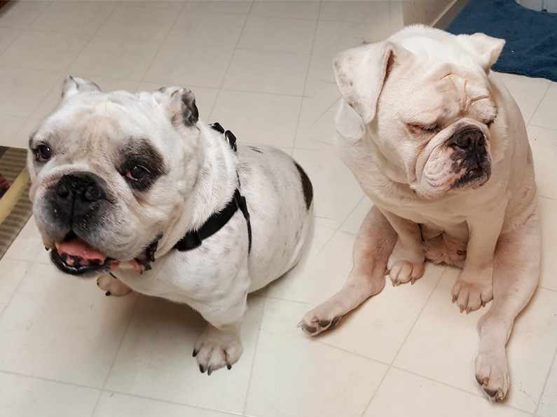 bentley-lilly-english-bulldogs