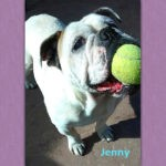 Jenny English Bulldog