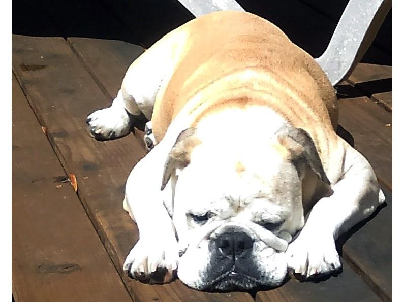 Roxie the English Bulldog Courtesy Post