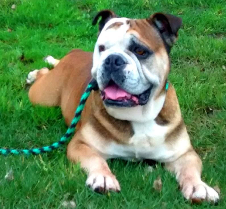 Big Ben English Bulldog