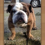 Leonard English Bulldog
