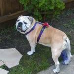 roxy english bulldog