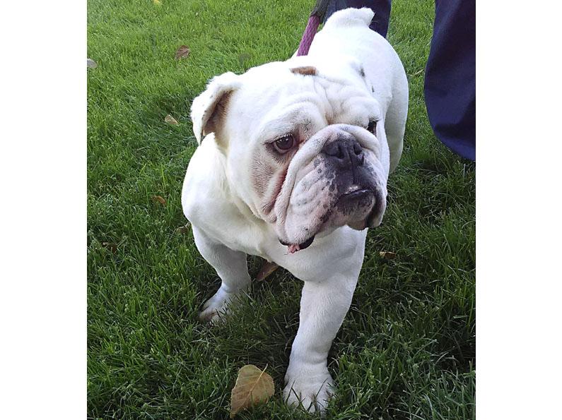 Captain English Bulldog