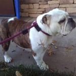 Puddles English Bulldog
