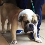 Brody English Bulldog