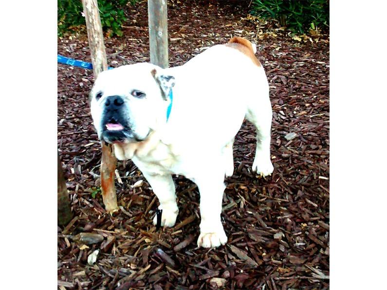 Big-Gulp-English-Bulldog-4
