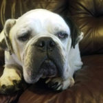 Winston English Bulldog