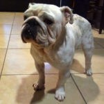 Gimly English Bulldog